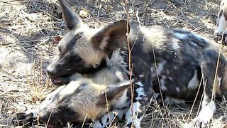Playful wild dog puppy loves to chew his brother's ear