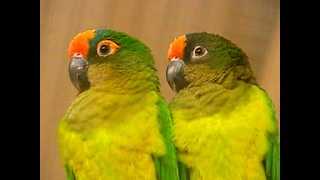 Parrot Dating Agency - Video