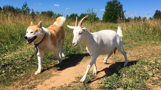 Goat loves to go for walks with canine best friend - Video