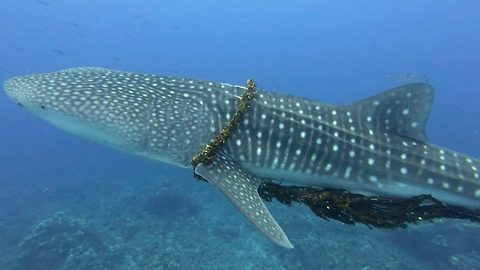 Family free whale shark from fatal fishing rope entanglement during vacation snorkel