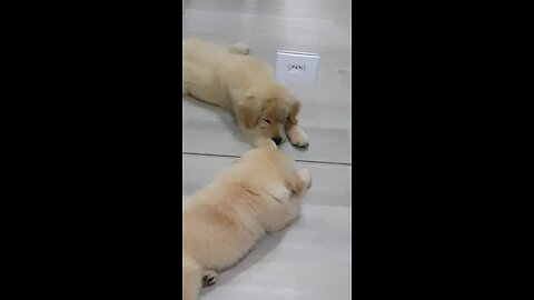 Curious puppy tries to play with mirror reflection