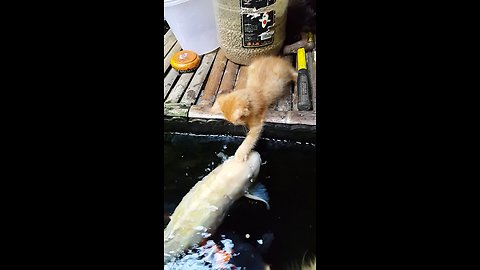 Kitten makes friends with koi fish in pond