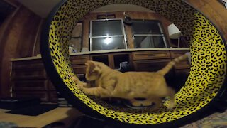 Excited kitty loves his new exercise wheel