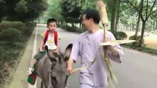 Father interested in historical Chinese customs commutes with son on a cow - Video