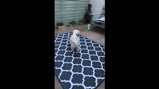 Cute dog plays with her tail