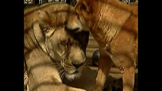 Dog And Lion Are Roommates - Video