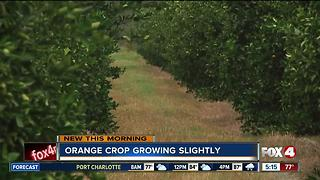 Fla. orange crop estimate increases slightly in June - Video