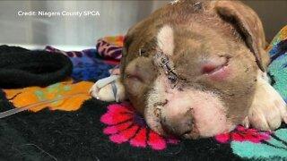 Puppy recovering from severe bite wounds