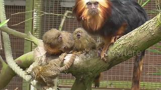 Monkey mother protects her babies