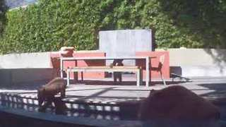 Bear Family Chill Out in Water Fountain on a 'Bear-y' Hot Day - Video