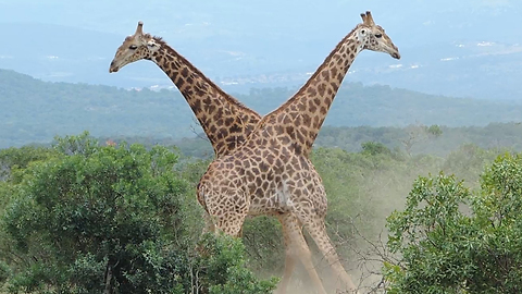 Giraffes Go Neck-To-Neck In Epic Fight: SNAPPED IN THE WILD