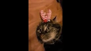 """Adorable Cat Gets Christmas Ready"""