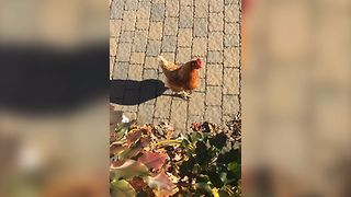Chickens Invade Our Home!! - Video