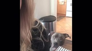 Vocal Pit Bull refuses to leave owner alone - Video