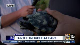 Wildlife officials working to trap abandoned turtles - Video