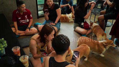 This cafe filled with corgis in Thailand is fit for a queen