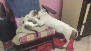 Blind cat and dog nuzzle each other at animal shelter - Video