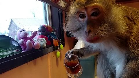 Monkey starts her day with cup of coffee
