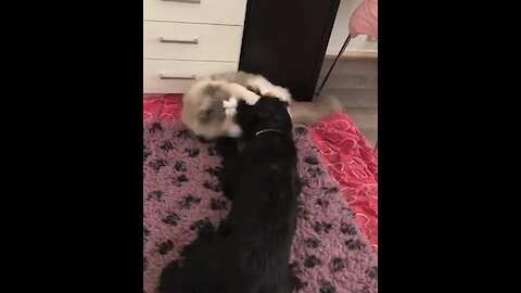 Ragdoll cat and doggy best friend adorably play together