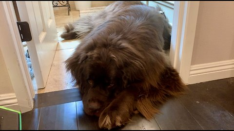 Tired Newfoundland decides to play, then quickly changes his mind