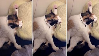Silly Kitty Misses Her Leg And Grooms Stuffed Toy Duck Instead - Video