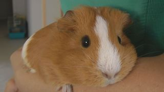 Guinea Pig Without ASR /Anti-slip regulation/  - Video