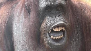 Orangutan flashes infamous toothy grin at zoo visitors