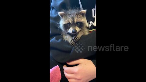 Adorable baby raccoon rescued in Canada
