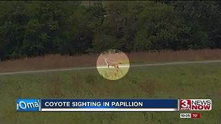 Coyote sighting in Papillion park - Video