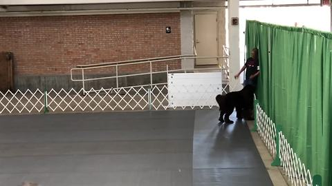 Newfoundland knocks owner out of ring during training