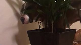 Pit Bull has strange fascination with house plant