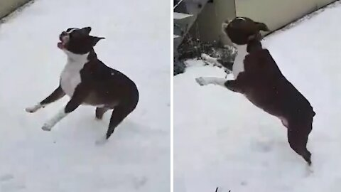 Boston Terrier can't stop jumping to catch snowflakes