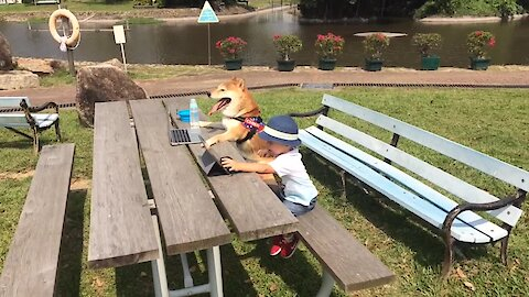 Shiba Inu and toddler spend day at the park