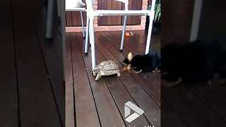 Tortoise v dog - Video