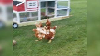 Dog Plays A Game Of Tag With Chickens