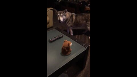 Alaskan Malamute has full-blown discussion with talking toy hamster