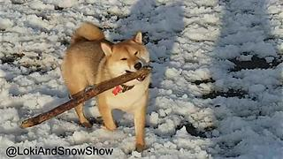 Ambitious Shiba Inu Pooch Fetches Massive Tree Branch For Owner