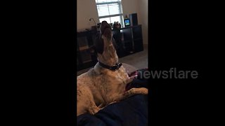 Dog sings near-perfect harmony as owner plays harmonica - Video