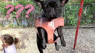 French Bulldog Takes a Turn on the Swing - Video