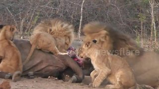 Pride of lions feast on buffalo - Video