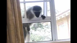 Cheeky monkey attempts home invasion