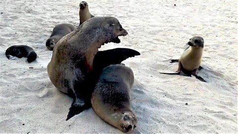 Grumpy sea lion father chastises hungry baby for interrupting nap time