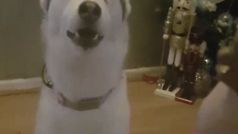 Blue eyed Female Siberian Husky Pleads For Squeaky Toy