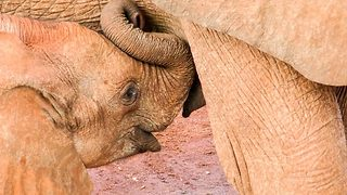 Don't milk it – Baby elephants keeps smiling after feeding - Video