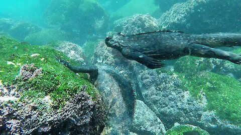 These Marine Iguanas of the Galapagos are just like mini dinosaurs