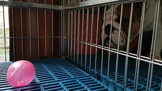 Confused dog enters wrong kennel to retrieve ball - Video
