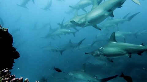 This Is Wearing Fin: Hundreds Of Hammerhead Sharks Appear Trapped Motionless Underwater In Strong Ocean Current