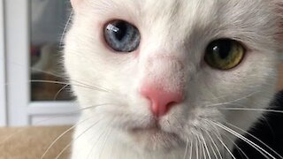Deaf Cat With Different Colored Eyes Seeks Forever Home