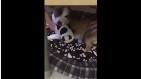 Growling Rescue Dog Refuses To Give Up Favorite Toy