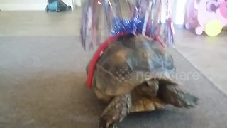 Tortoise arrives late for 4th of July celebrations - Video